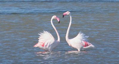 Carmargue flamingos