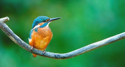 Kingfisher Bird