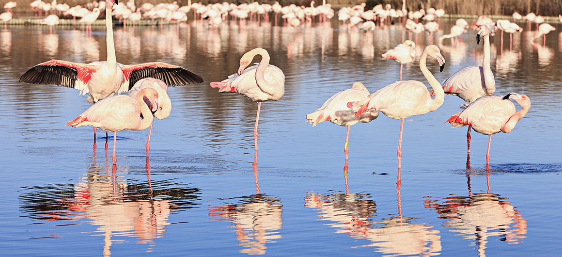 Flamingoes in the Camargue